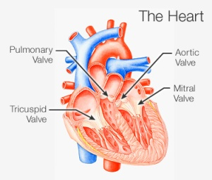 375x321_heart_valves